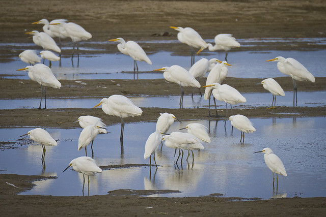 Great Egrets and Snowy Egrets