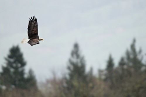 birds america washington cool birding eagles nationalbird rockport baldeagles dearth skagitriver cool2 cool5 cool3 cool6 cool4 americansymbol cool7 uncool2 iceboxcool uncol