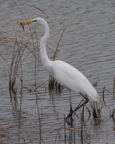 Great Egret with Fish - 1