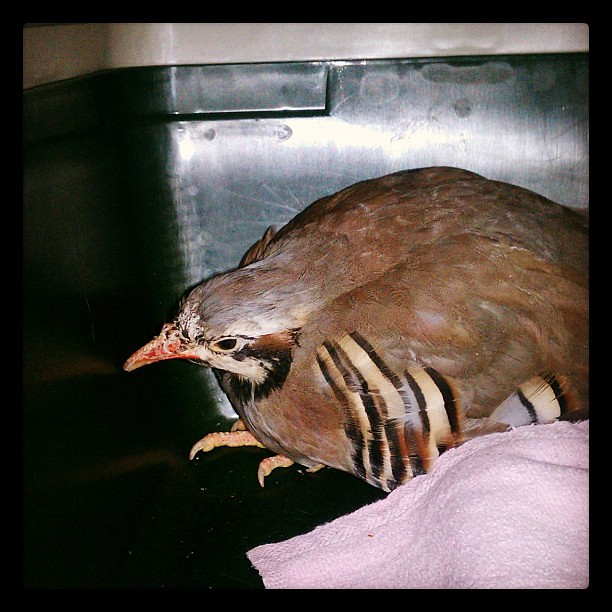 The partridge I rescued in Greenpoint, it's with Empty Cages now.
