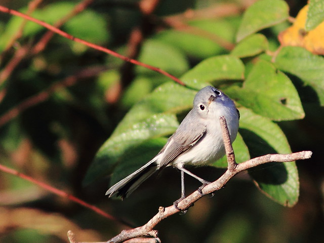 Blue-gray Gnatcatcher 20120125