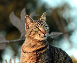 Male Tabby Cat, Sparta
