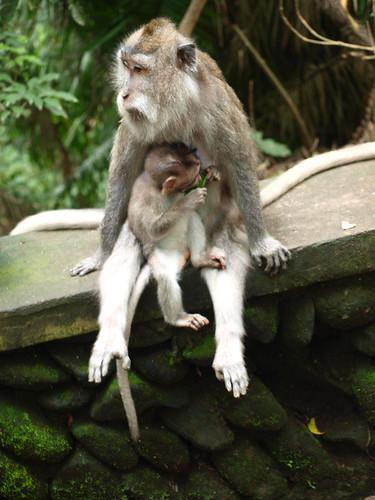 бали, обезьяны2