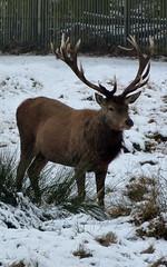 wildlife(0.0), animal(1.0), deer(1.0), winter(1.0), snow(1.0), fauna(1.0), white-tailed deer(1.0), elk(1.0), musk deer(1.0), reindeer(1.0),
