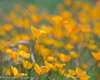 Poppy Patch, Sierra Foothills by Robin Black Photography