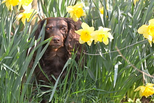 Doxie of the Daffodils