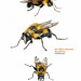 bumblebee mimic robber fly.pages by DaveHuth