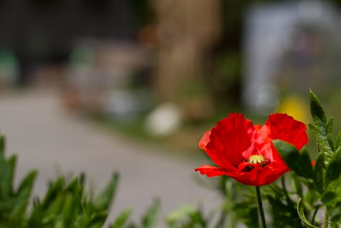 Coquelicot | by Elo_M.