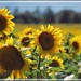 Campo di Girasoli by Sugar Mind