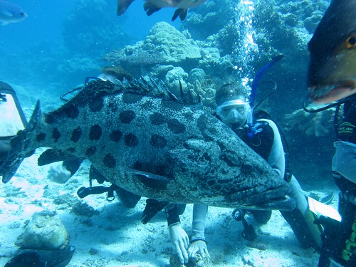 Giant potato cod, Great Barrier Reef.
