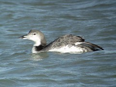 Common Loon, Dunkirk Harbor, NY