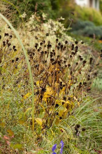 Rudbeckia seed heads v