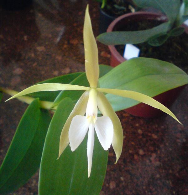 NocturnumBulbophyllum2
