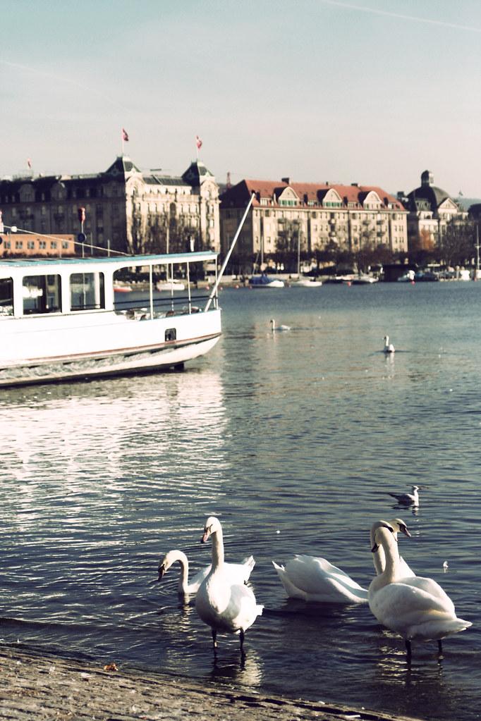 swans!!!