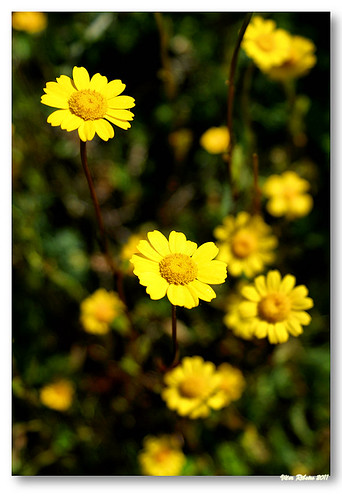 Yellow flowers by VRfoto