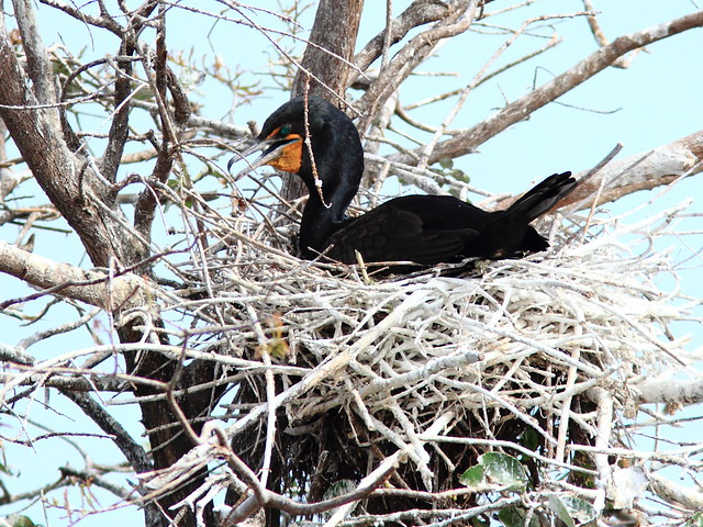 Cormorant on nest 20111204