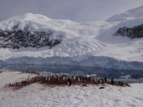 Gentoo Penguin - Neko Harbor Peninsula Landing