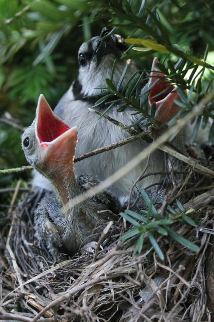Blue Jay Hatchlings