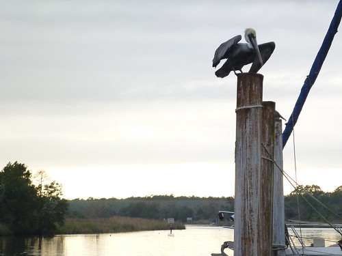 Pelican in the St. Marks River