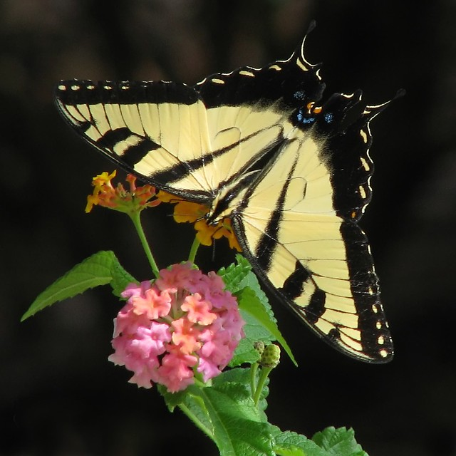 12 Days of Christmas Butterflies - #1 Eastern Tiger swallowtail
