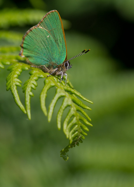 green hairstreak on bracken 5