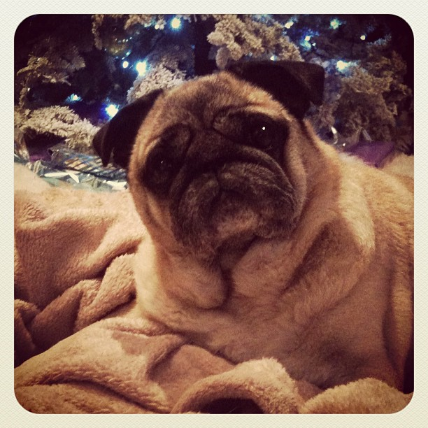 Where does Bebop end & the blanket begin? ...in front of the Christmas tree. #pug