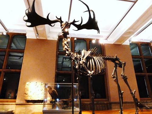 Skeleton of Giant Irish Deer
