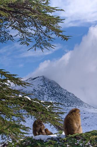 Singe magot , Djurdjura Algérie (Algeria) by albatros11