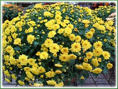 Chrysanthemum hybrid (Mums) with yellow flowers at a garden centre