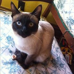 domestic long-haired cat(0.0), european shorthair(0.0), burmese(0.0), birman(0.0), animal(1.0), siamese(1.0), small to medium-sized cats(1.0), pet(1.0), mammal(1.0), snowshoe(1.0), thai(1.0), tonkinese(1.0), cat(1.0), whiskers(1.0), balinese(1.0), domestic short-haired cat(1.0),