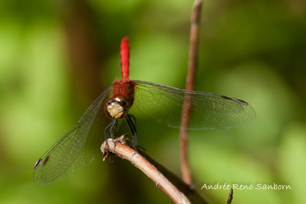 White-faced Meadowhawk (Sympetrum obtrusum)-4.jpg