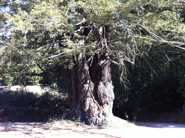 Huge Redwood Tree