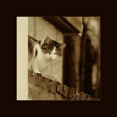 chat sepia aux yeux verts / sepia green-eyed cat
