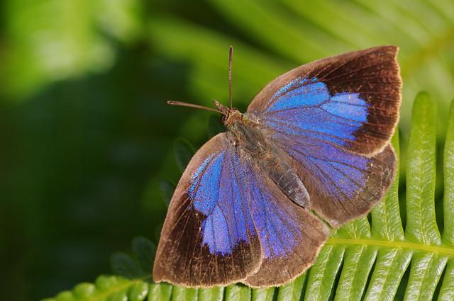 Narathura japonica