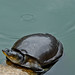 A turtle at the Twin Pond