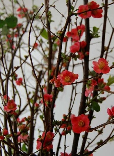 quince flowering branches