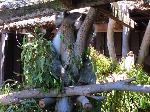 O(-@-)O koala