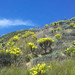 Coreopsis gigantea blooming on the cliffs of north Malibu.