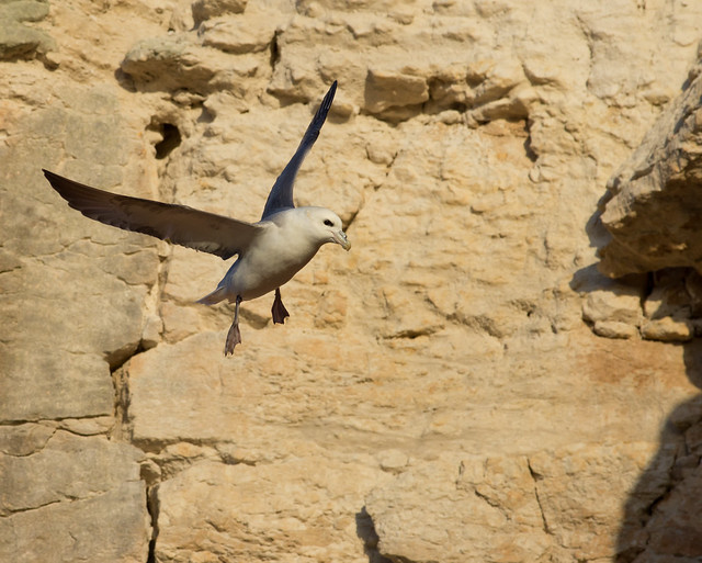 fulmar in front of cliff 2