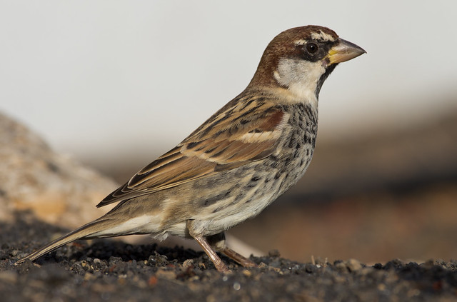 Spanish sparrow 14