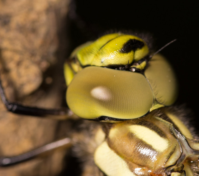 Southern hawker close up 2