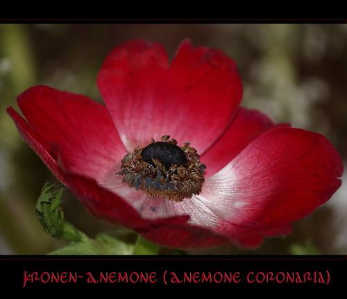 Kronen-Anemone (Anemone coronaria)