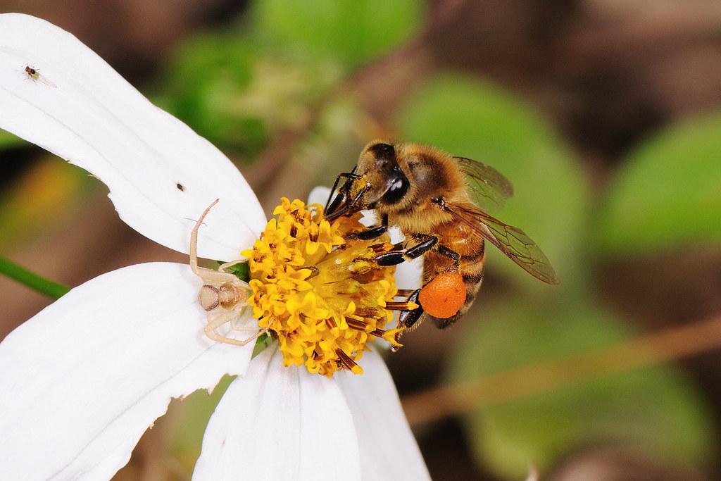 義大利蜂和花蛛