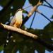 Mangrove Cuckoo calling