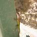 Watts' Anole Lizard