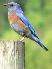 nightingale(0.0), robin(0.0), green jay(0.0), jay(0.0), emberizidae(0.0), brambling(0.0), animal(1.0), wing(1.0), fauna(1.0), finch(1.0), indigo bunting(1.0), bluebird(1.0), beak(1.0), bird(1.0), wildlife(1.0),