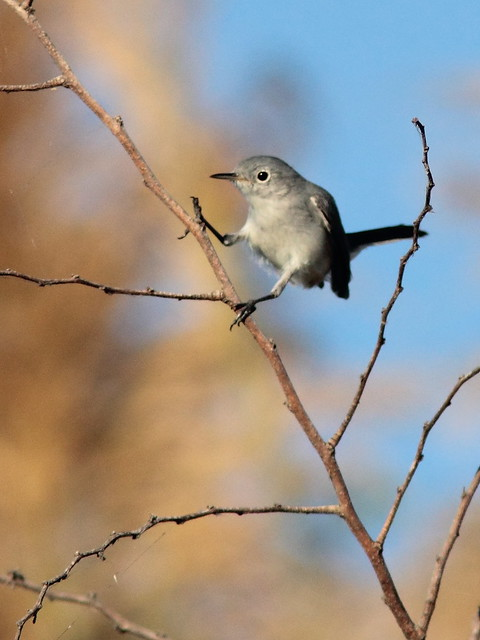 Blue-gray Gnatcatcher 7-20120125