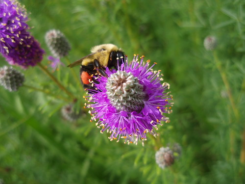 Not long ago, Wisconsin was home to 13 species of bumble bee. Now, two of the most common bumblebees are no longer found here, due to habitat loss and environmental contaminants.  (Photo courtesy of Hannah Gaines from UW-Madison Entomology Dept.)