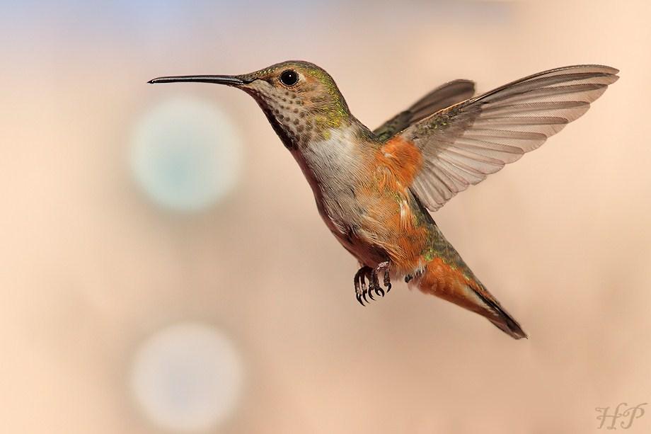 Allen's Hummingbird012712-2