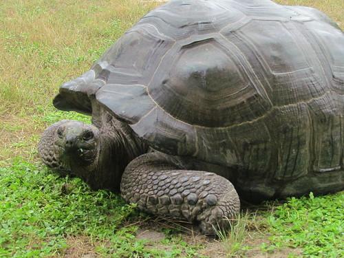 Aldabra Giant Tortoise, Bird Island